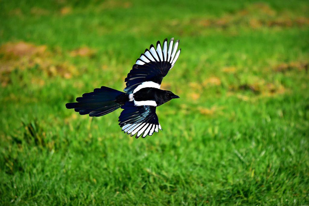 De Ekster is rooft graag nesten leeg van kleinere vogels.