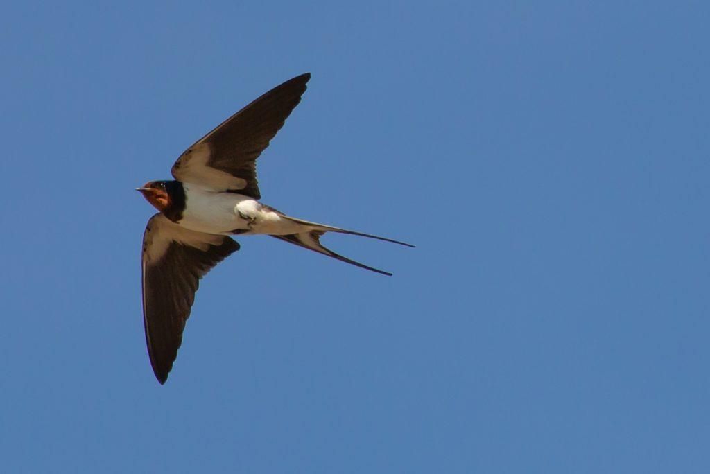 De zwaluw legt haar jongskens neer, int kunstig nest bij uw altaren.