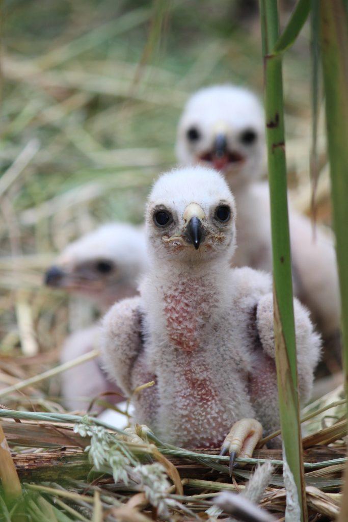 Kuikens van de Bruine Kiekendief groeien op tussen het riet, maar ze zijn geschapen om te vliegen.